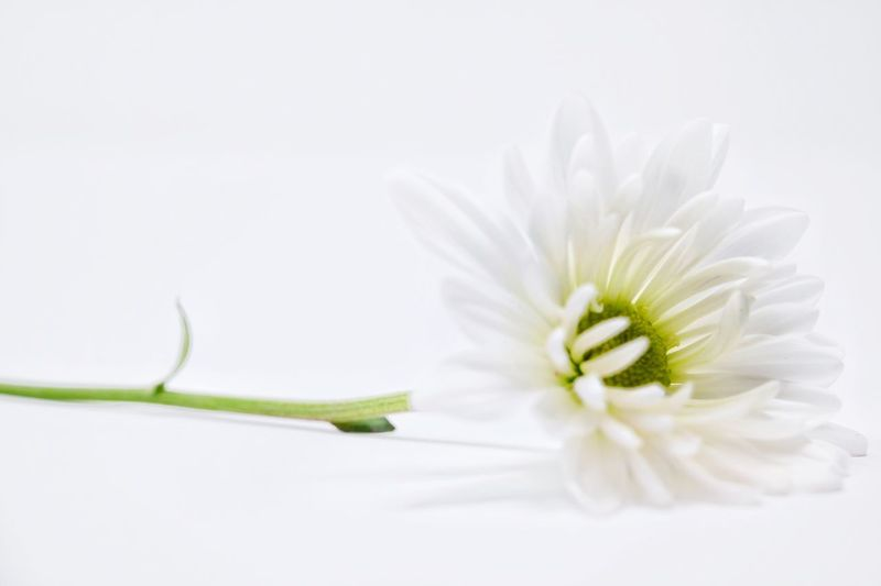 White daisy on