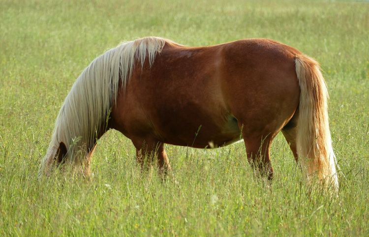 CHOW TIME Green Grass Horse Eating HORSE HEAD HIDDEN IN GRASS White Mane Animal Themes Day Domestic Animals Field Grass Grazing Horse Horse Tail Nature One Animal Outdoors Side View Standing