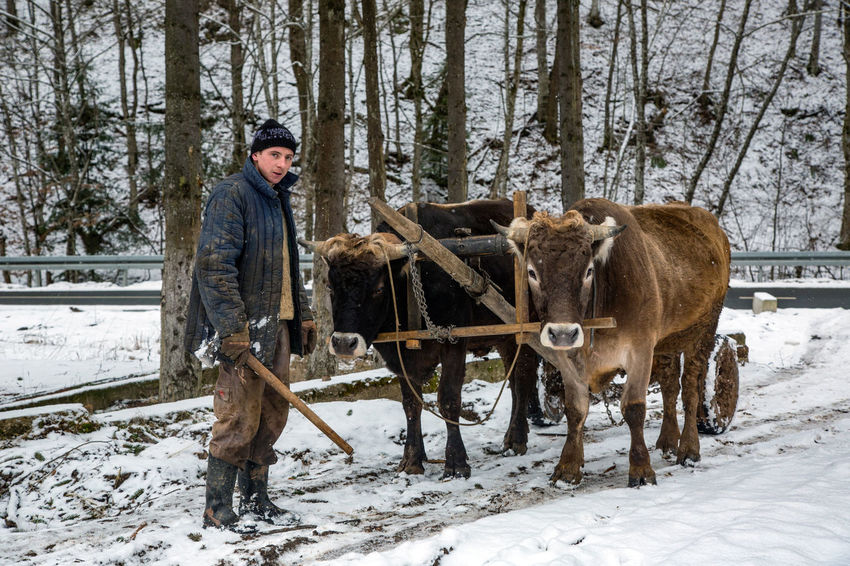 Adult Adults Only Agriculture Animal Themes Cold Temperature Day Domestic Animals Full Length Livestock Mammal Mature Adult Nature One Man Only One Person Only Men Outdoors Oxen People Rural Scene Snow Standing Warm Clothing Winter Yoke