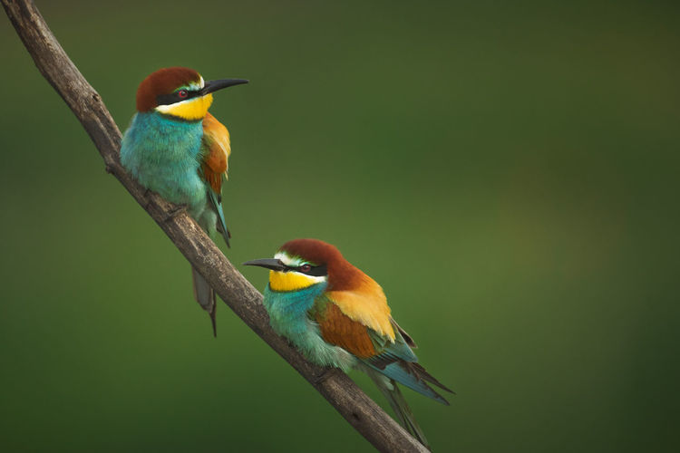 Close shots of bee eater birds in the wild.