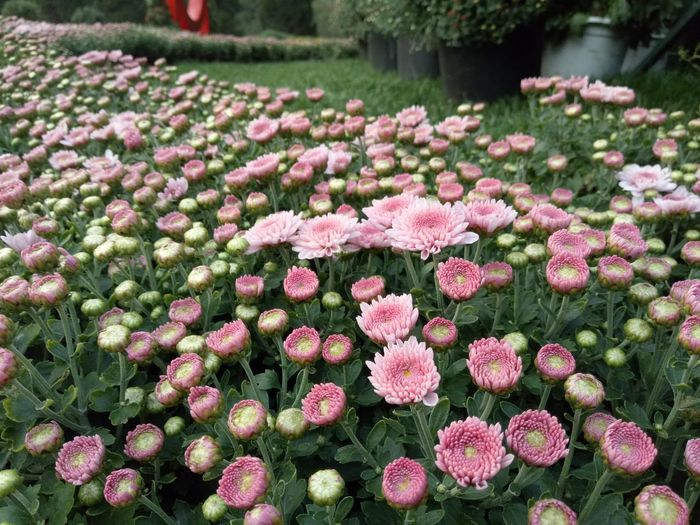 Close-up of fresh pink flowers blooming in garden