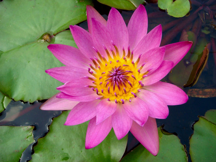 Close-up beautiful tropical pink purple waterlily, lotus flower, nature background. Flower Flowering Plant Beauty In Nature Flower Head Pink Color Nature Lake No People Lotus Water Lily Purple Growth Petal Plant Vulnerability  Water Lily Close-up Pink Pink Flower Tropical Lotus Aquatic Water Pond Exotic