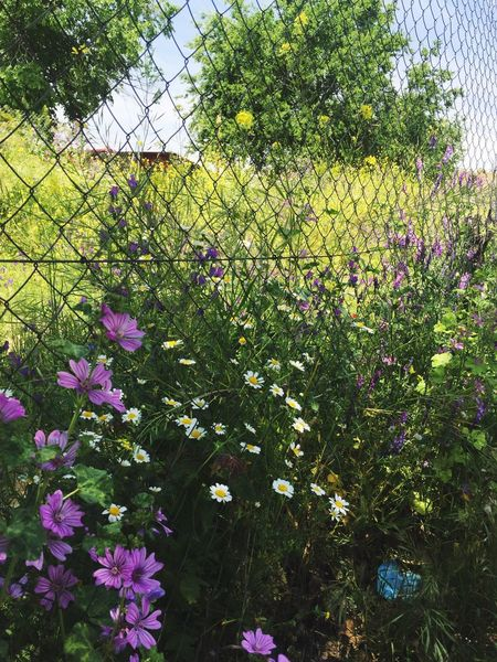 Out of the fence… Spring Plant Flower Flowering Plant Growth Vulnerability  Beauty In Nature Fragility Outdoors Close-up