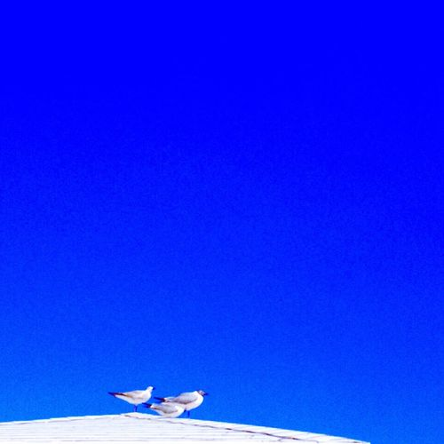 Low angle view of birds against clear blue sky