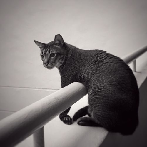 A greyish-black tabby cat is relaxing and looking out from the corridor's railing, seemingly waiting for someone to return home .. Tabby Cat Greyish Black Feline Whisker Portrait Pets Domestic Cat Relaxing Sitting Railing Looking Out Patiently Waiting One Animal Animal Themes Domestic Animals No People Outdoors Day Natural Light Black & White B&W Collection January 2017 — in Singapore ASIA Black And White Friday