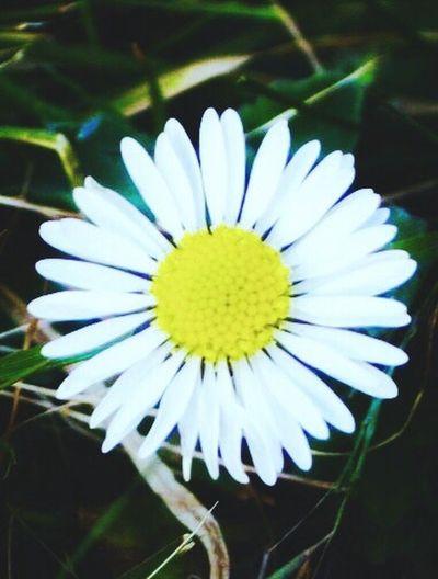 Paquerettes Daisy Flowers Spring Maximum Closeness