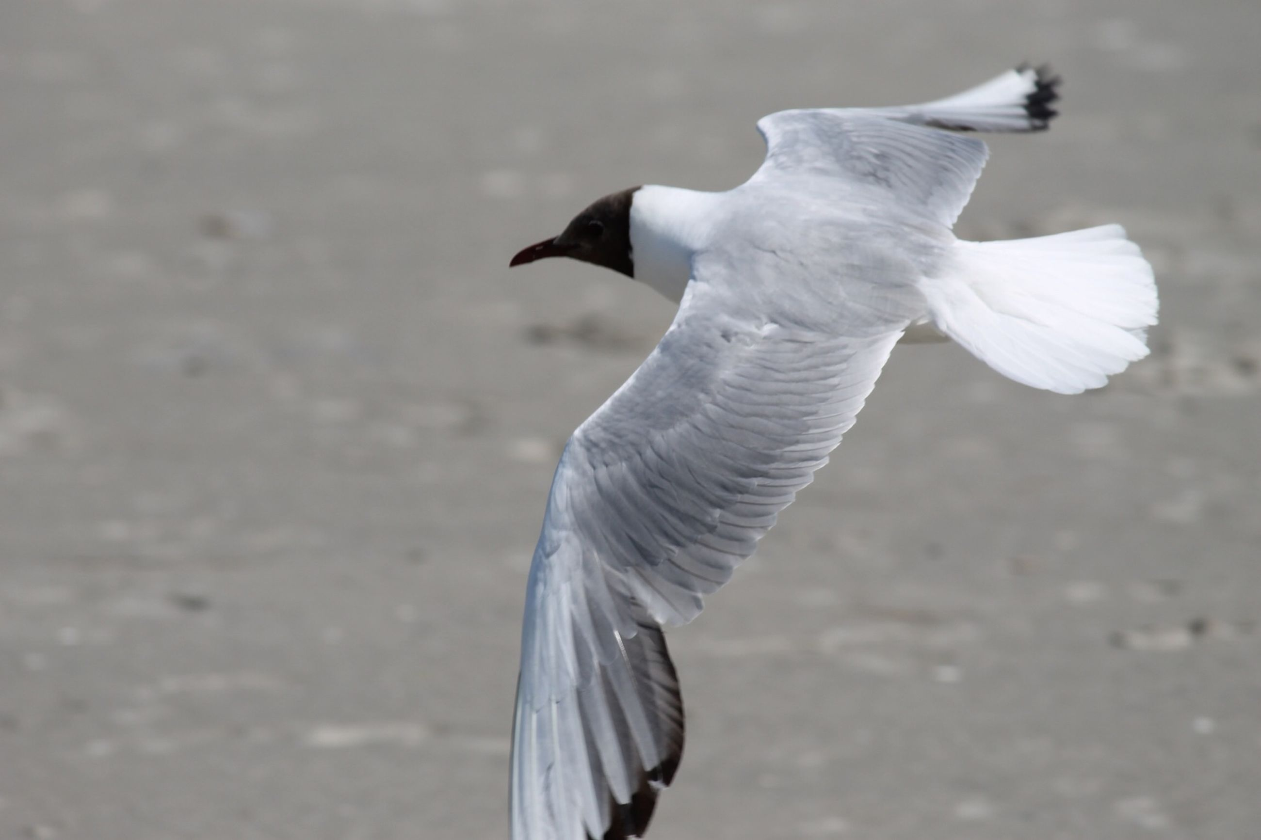 bird, animal themes, one animal, animals in the wild, spread wings, focus on foreground, full length, wildlife, flying, seagull, white color, side view, rear view, standing, one person, feather, beak, day, close-up, sunlight