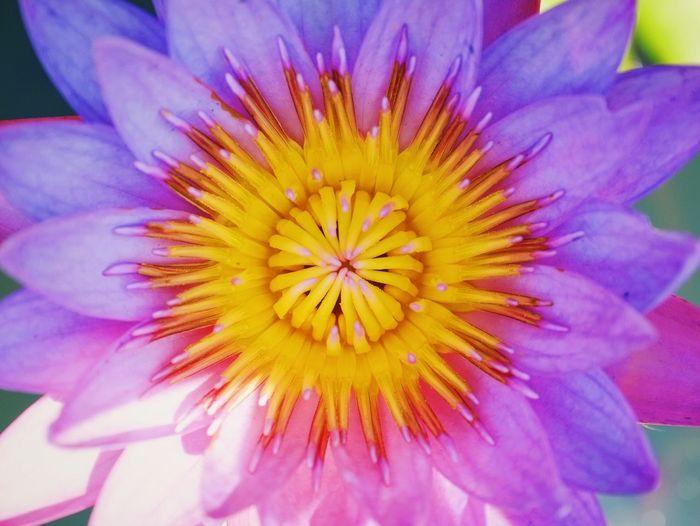 Lotus Flower Colors Purple Water Beauty In Nature Fujifilm The Week Of Eyeem Macro Macro Photography
