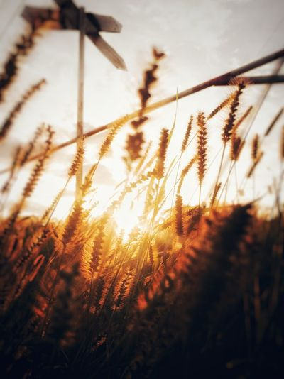 Growth Nature Sunset Plant Sunlight No People Beauty In Nature Grass Day Close-up Low Angle View Brown
