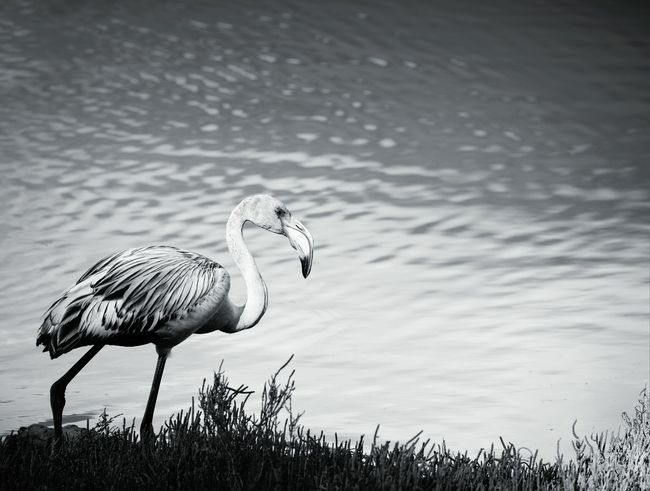 One Animal Animal Wildlife Animals In The Wild Bird Nature Outdoors Day Sunset Animal Themes No People Water Mammal Flamingo Animals In The Wild Wildlifephotography Wild Life Naturephotography