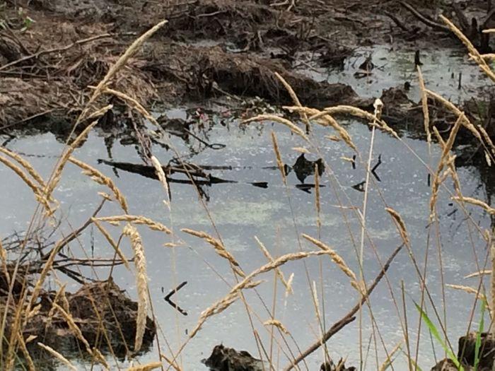 Minnesota Swamp