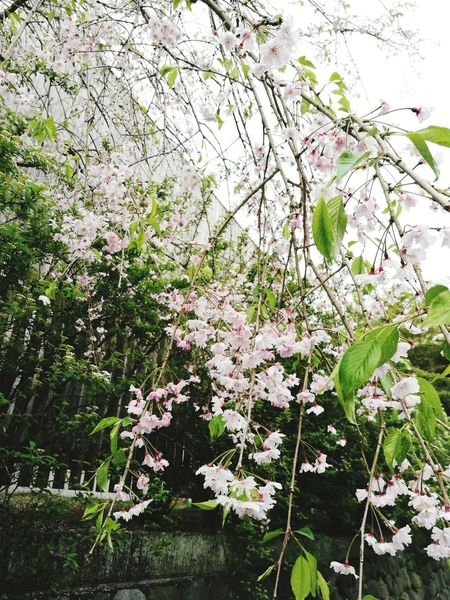 Growth Flower Nature Blossom Fragility Beauty In Nature Tree Springtime Day Branch No People Outdoors Freshness Plant Low Angle View Close-up