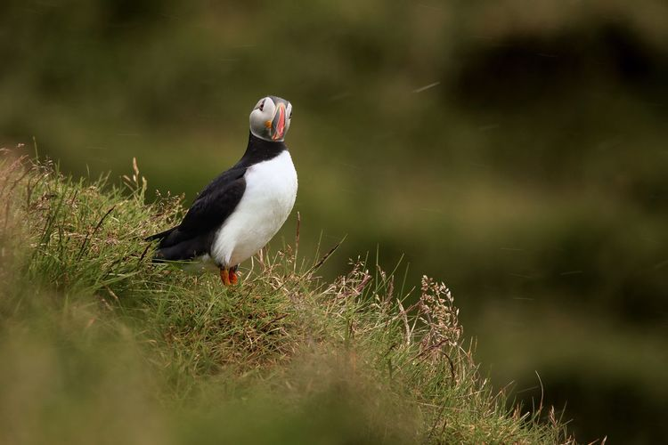 Puffin on the Vestmannaeyjar islands in iceland Puffin Animal Themes Bird Animal Animals In The Wild Vertebrate Animal Wildlife One Animal No People Nature Perching Plant Day Full Length Outdoors Water Focus On Foreground Beauty In Nature Land Close-up Tree
