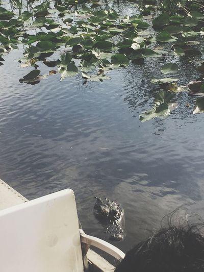 lily the aligator
