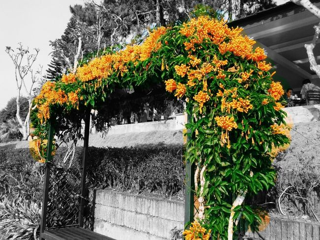 orange🍊 Taking Photos Orange Color Orange Flower Orange Hanging Out EyeEm Best Shots Photography Amazing Good Photo Good Shot Full Colour Flowers Blackandwhite Photography Check This Out Festival Of Colors