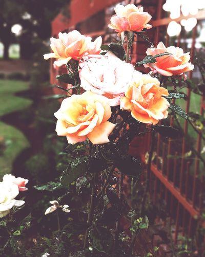 Roses World 🌹❤️🌹 Peach Rose