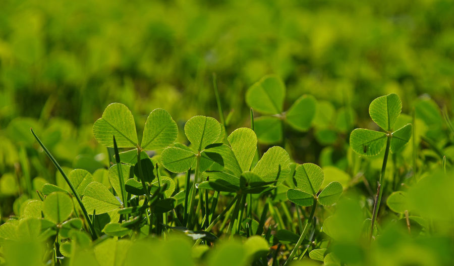 Close up spring young green clover leaves in grass, low angle view Low Angle View Growth Green Color Plant Plant Part Leaf Beauty In Nature Nature Close-up Selective Focus Day No People Field Land Outdoors Focus On Foreground Freshness Foliage Lush Foliage Tranquility Fragility Leaves Clover Copy Space Greenery Springtime