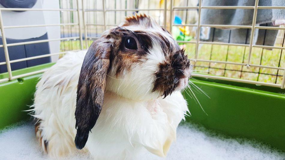 Domestic Animals Pets Animal Hair Rabbits 🐇 Rabbit Portrait Mohawkphotography Mohawk Rabbit Bunny  Hollandlop