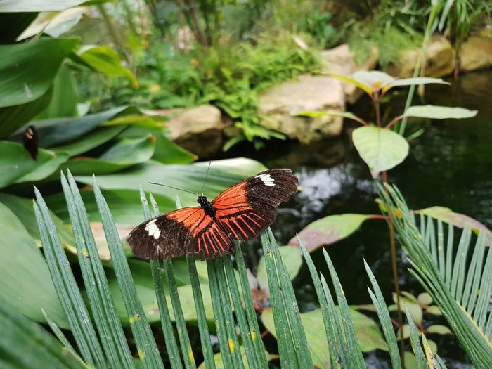 butterfly over a pond Pond Perching Leaf Full Length Butterfly - Insect Insect Animal Themes Close-up Plant Plant Life