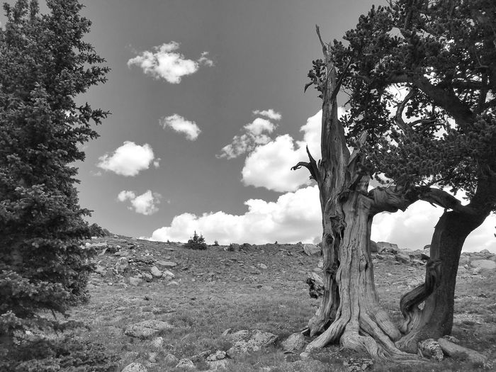 Black and white landscape of bristlecone Pine trees on a hillside in Colorado Black And White Bristlecone Pine Colorado High Elevation Mount Evans Colorado Mountians Tree Plant Sky Cloud - Sky Day Nature Lifestyles Growth Tranquility Land Beauty In Nature Field Outdoors Tranquil Scene Scenics - Nature Environment Landscape