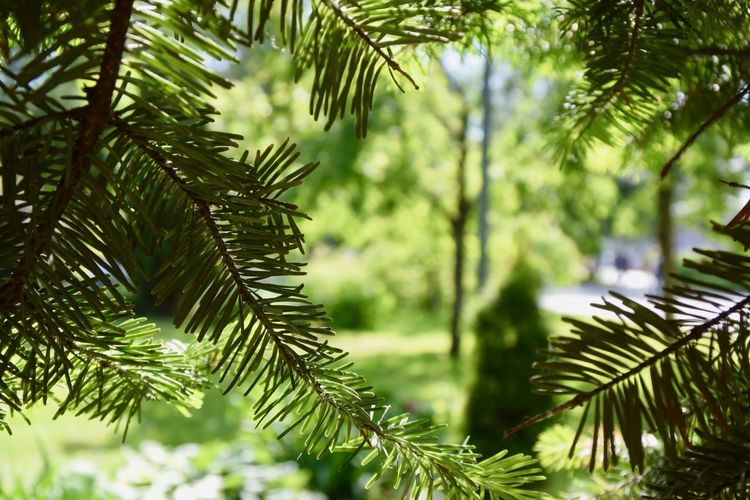 Tree Plant Growth Nature Focus On Foreground Day Beauty In Nature No People Branch Close-up Outdoors Backgrounds Background Green Color Leaf Plant Part Tranquility Pine Tree Coniferous Tree Needle - Plant Part Sunlight Forest Leaves Fir Tree Pattern Copy Space