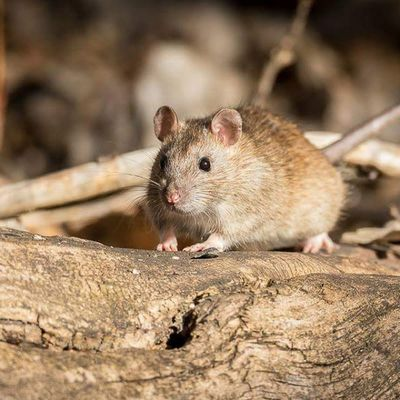 Yes, it's a mouse... On a log. I photographed this critter because I've never photographed a mouse before. I've always seen them being eaten by birds of prey. And, sometimes, when you have time to kill or nothing else to photograph, you sit and watch mother nature at work, which can reveal some humorous events. Such as the mouse chasing a squirrel away repeatedly. Mouse Nature Utah Nofilter