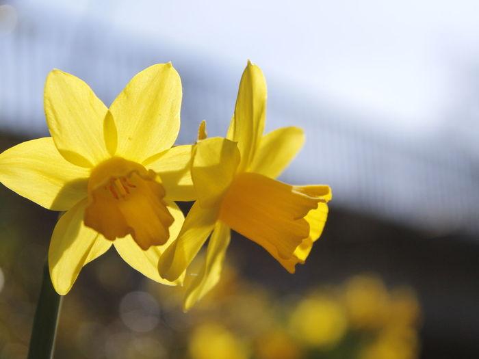 Canon Canonphotography Canon_photos Canon Eos  Canon 18-55 Flower Head Flower Yellow Springtime Petal Daffodil Blossom Soft Focus Close-up Plant