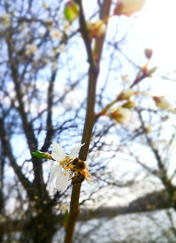 Springtime Spring Has Arrived Bee Flowers Nature Insect Macro Trees Sun