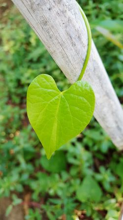 Heart! Hello World Check This Out Taking Photos Enjoying Life Leaf Pattern Pattern Heart Heart Shape Climbers Tendrils SUPPORT Tender Leaf Flowers,Plants & Garden Eyemphotography Eyeem Collection EyeEm EyeEm Gallery Leaf Photography