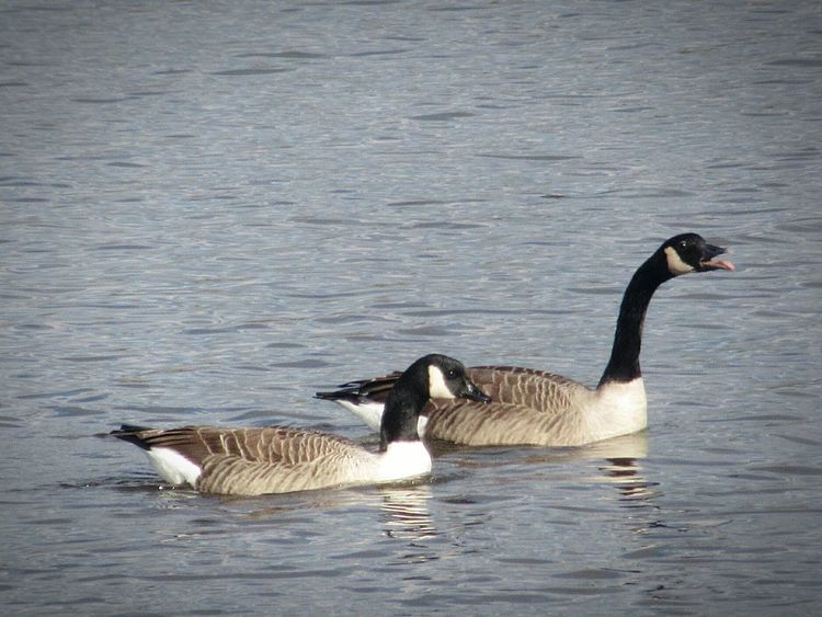 Canada Goose Geese Water Lake Out For A Walk Staffordshire Bird