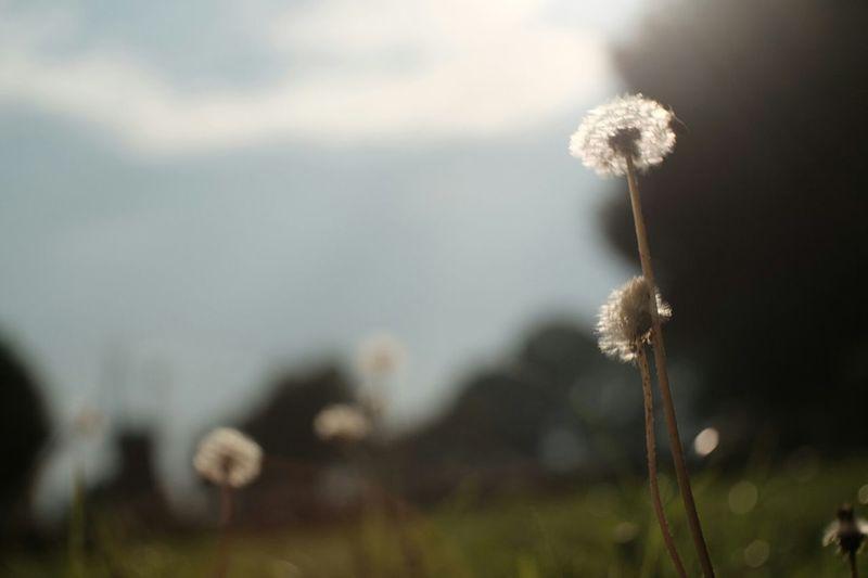 My Block Vintage Lenses Pancolar 50mm F2 FUJIFILM X-T1 Fuji X-T1 Carl Zeiss Jena Sky High Dandelion Wild Flowers Dandelion In The Sky