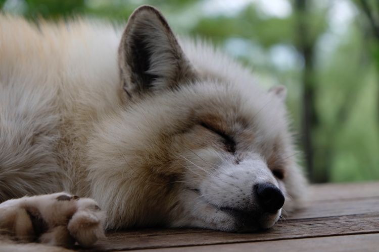 Foxy naps Fox EyeEm Selects One Animal Animal Themes Sleeping Mammal Eyes Closed  Relaxation Lying Down Focus On Foreground Outdoors Day Close-up No People Animals In The Wild