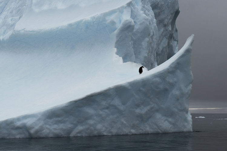 An alone gento penguin resting on an iceberg at low island, antarctica.