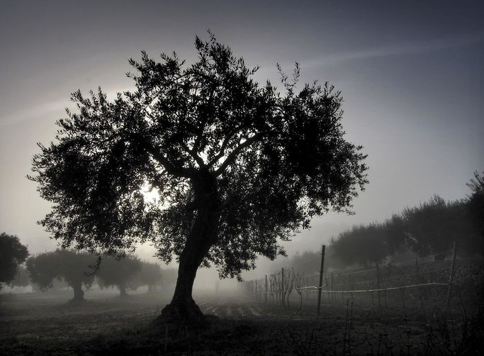 Olive trees in