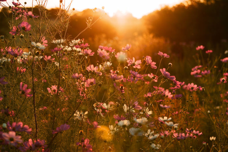 Close-up of flowers on field during sunset