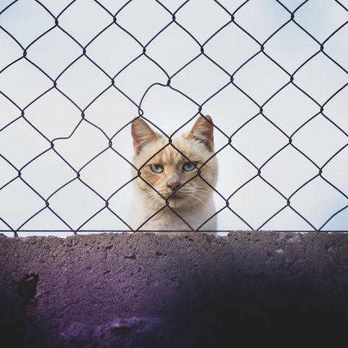 Cat looking through chainlink fence