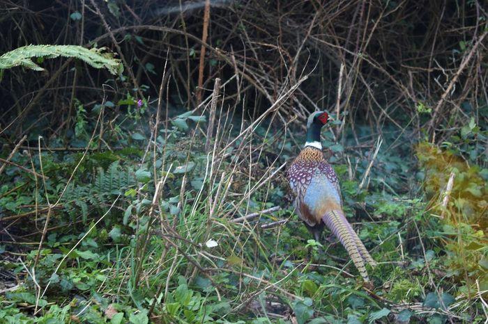 Autumn Bird Photography Pheasant Pheasant Feathers Wildlife & Nature Wildlife Photography Hedgerow Pheasant Season Tail Feathers EyeEmNewHere