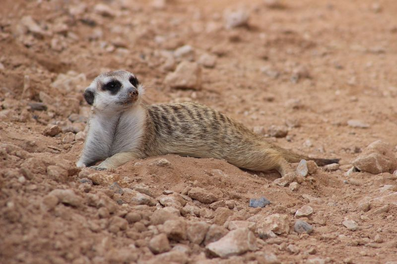 Chilling meerkat Animal Themes Animal Wildlife Animal One Animal Animals In The Wild Land Sand Vertebrate No People Day Meerkat Beach Nature Selective Focus Brown Outdoors Close-up Looking My Best Photo My Best Photo