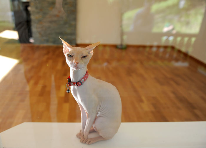 Cat Day Domestic Domestic Animals Domestic Cat Don Sphynx Feline Focus On Foreground Indoors  Looking At Camera Mammal No People One Animal Pets Portrait Sfinks Sitting Table Vertebrate