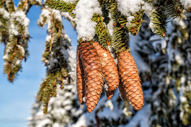 Spruce cones in winter Plant Tree Beauty In Nature Day No People Focus On Foreground Nature Close-up Growth Cold Temperature Winter Outdoors Snow Hanging Food And Drink Low Angle View Food Branch Frozen Coniferous Tree Spruce Tree Spruce Cone Alps Austria Tyrol