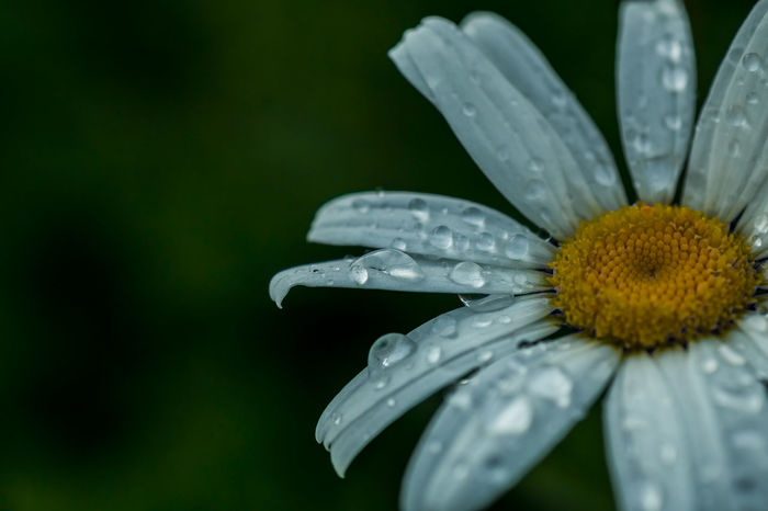 After The Rain Beauty In Nature Close-up Daisies Daisy Day Drop Droplet Flower Flower Head Focus On Foreground HDR High Definition Macro Macro Photography Macro_collection Nature Ontario, Canada Outdoors Petal Rain Drops Selective Focus Showcase July The Week On EyeEm Water
