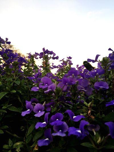 Purple flowers Jerai Kedah