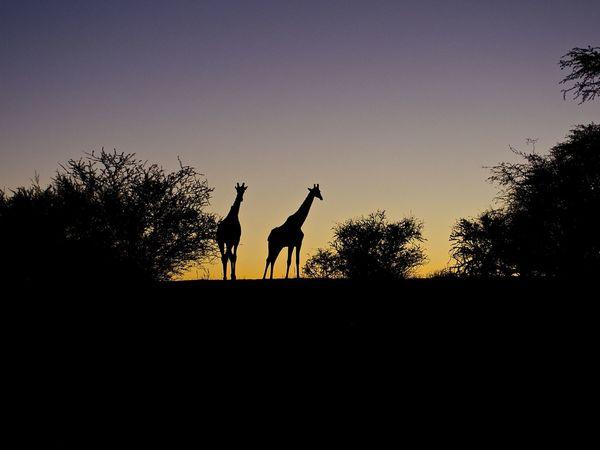 Adventure Africa Animals In The Wild Beauty In Nature Clear Sky EyeEm Nature Lover Giraffe Kalahari My Point Of View Namibia Nature Outdoors Safari Silhouette Sky Sundown The Great Outdoors - 2017 EyeEm Awards Tree Wilderness Animal Themes