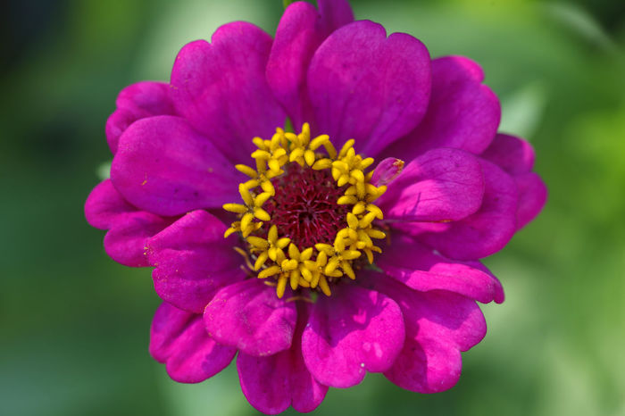 Purple garden flower - close up Canvas Decor Vivid Vivid Colours  Beauty In Nature Blooming Close Up Close-up Day Decoration Flower Flower Head Fragility Freshness Growth Nature No People Outdoors Petal Plant Purple Purple Flower Yellow Yellow Centered Flowers Zinnia
