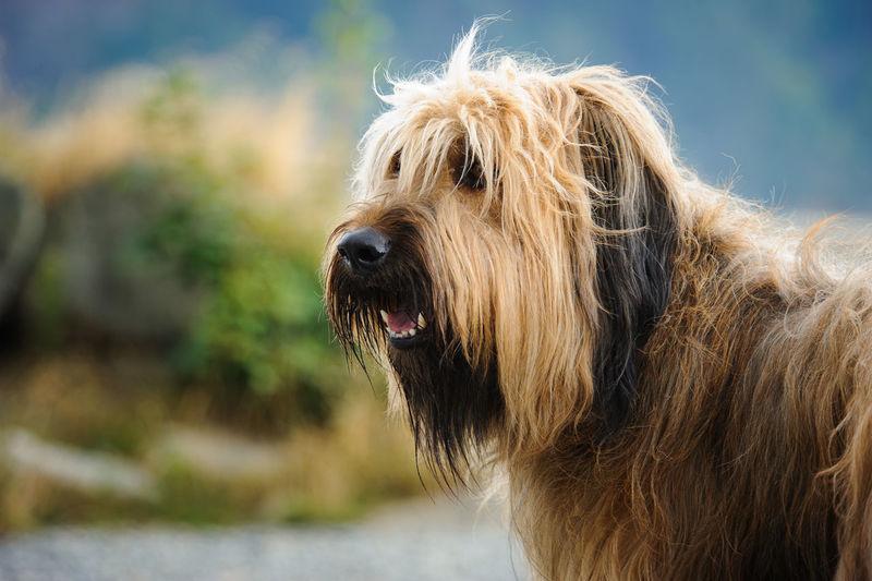 Briard Animal Animal Themes Briard Canine Day Dog Mammal No People Pet Selective Focus