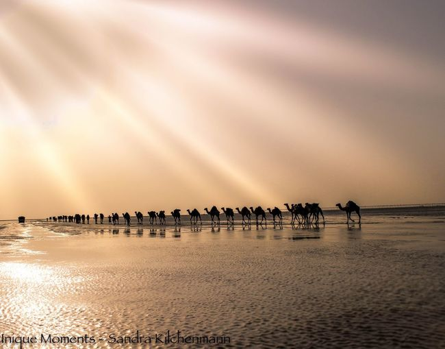 Camel Caravan On Salt Lake Large Group Of Animals Nature Outdoors Mammal Group Of Animals Landscape No People Salt Lake Ethiopia Danakil Depression Work Dusk Natgeolandscape National Geographic Travels Tourism, Africa