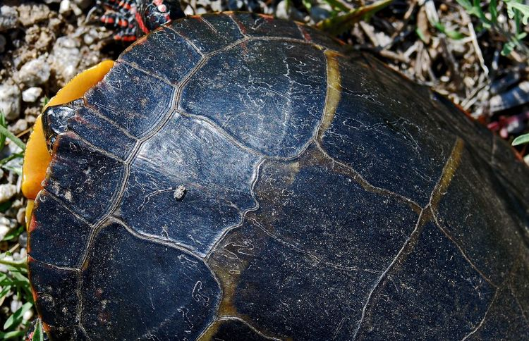 Drone's Eye View. Nature Natural Beauty Nature_collection Nature Collection EyeEm Nature Lover EyeEm Best Shots - Nature EyeEm Best Shots - Macro / Up Close Turtle Painted Turtle Close Up
