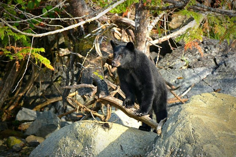 Vancouverisland British Columbia Canada BlackBear Bear Yearling Animal Wildlife Animal One Animal Animals In The Wild Nature Outdoors No People Animal Themes Climbing
