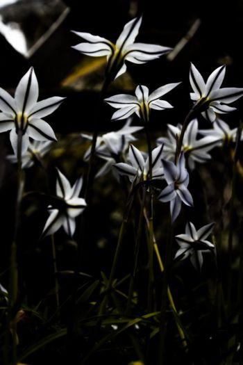 Flower Growth Ipheion Uniflorum Nature Spring Star Flower アイフェイオン セイヨウアマナ ハナニラ