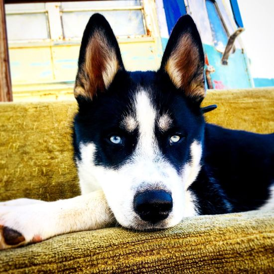Pets Domestic Animals Animal Themes Dog One Animal Mammal Looking At Camera Siberian Husky Portrait Indoors  Home Interior No People Day Close-up Husky